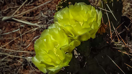 Flowering cactus plants, Yellow flowers of Opuntia polyacantha in Canyonlands National Park, Utha USA Zdjęcie Seryjne