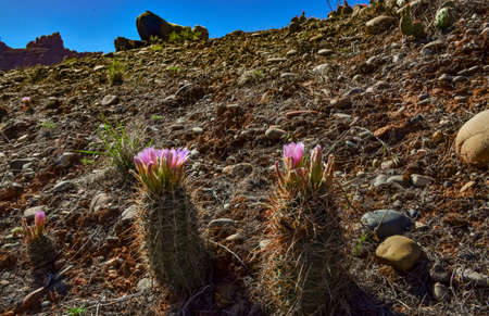 Flowering cactus plants (Sclerocactus parviflorus) in Canyonlands National Park, Utha USA 스톡 콘텐츠