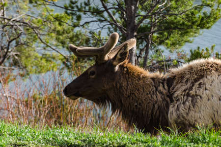 Bull Moose, a young animal eating green grass during a rain on the roadside, USA 스톡 콘텐츠
