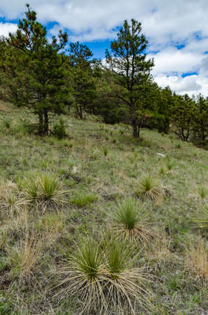 Young Yucca plants on a hillside in Wyoming, USA