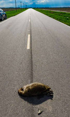 Dead raccoon hit by a car on the road in Tennessee, USA Zdjęcie Seryjne
