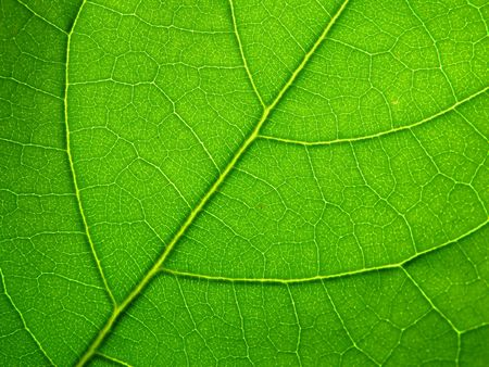 leaf structure photo