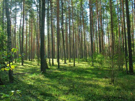 coniferous forest photo