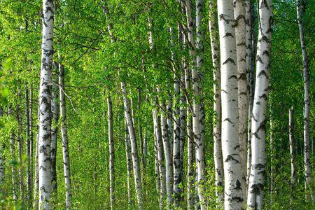 zomer groene berken bos