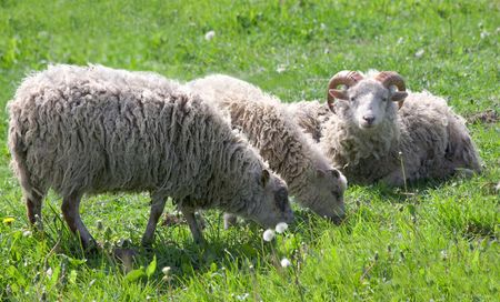 sheep eat grass on meadow photo