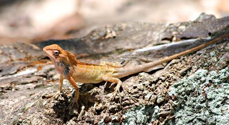 versicolor: Changeable Lizard ( Calotes versicolor )