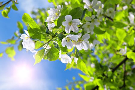 branch blossom apple tree and blue sky with sun Stock Photo