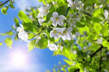 filiaal blossom appel boom en blauwe hemel met zon