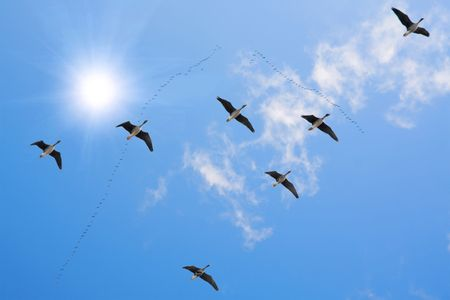 flying geese: flock of migrating