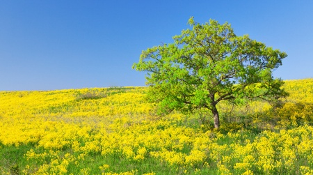 over hill: fiueld of yellow flowers and green tree Stock Photo