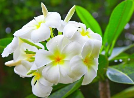 Image of White Flowers Plumeria photo