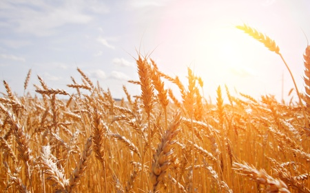 grain fields: grain in a farm field and sun  Stock Photo