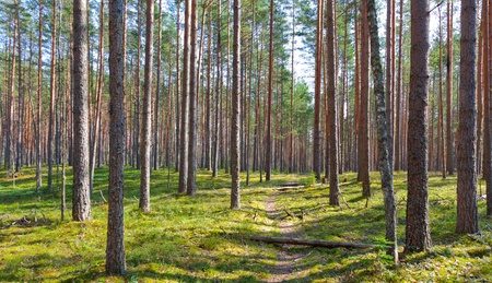 path and coniferous forest photo