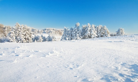 snowy landscape: Winter forest
