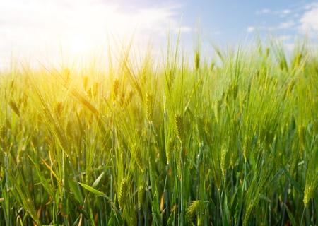 gebied van groen rogge en zonsondergang