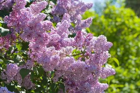 purple lilac: Lilac with leaves
