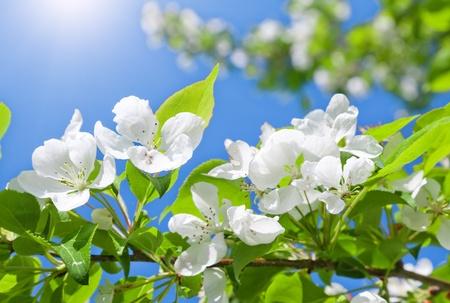 arbol de manzanas: flor de manzano