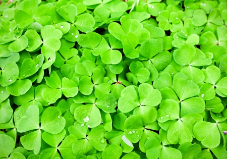 green clover background Stock Photo - 13787273
