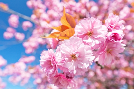 Japanese cherry with blossom  Stock Photo