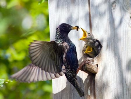 nido de pajaros: Starling alimentar a su polluelo