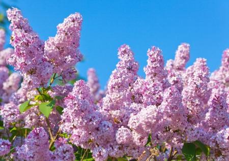 purple lilac: Lilac flowers Stock Photo