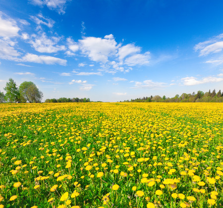 Yellow flowers field under blue cloudy sky photo