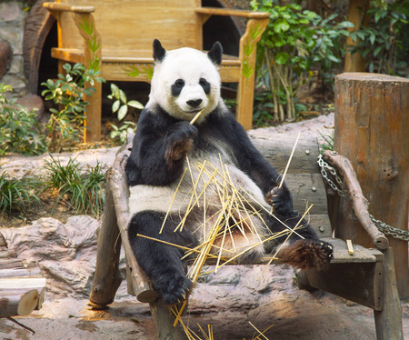 Panda Bear Facts For Kids  Animals Time