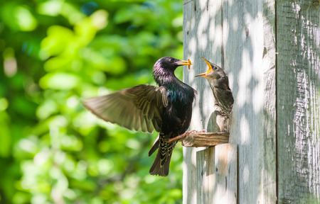pointed: starling feed his nestling