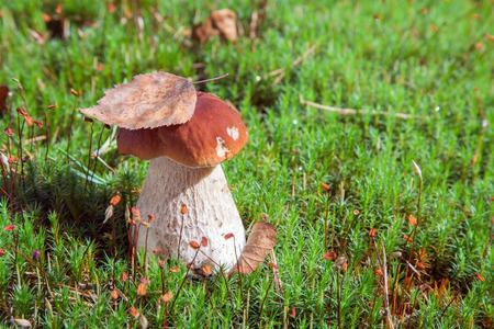 edulis: Porcino mushroom (Boletus edulis)