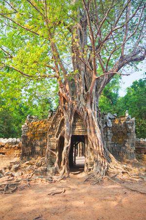 siem reap: Tropical tree on Ta Som, Angkor wat in Siem Reap,Cambodia Stock Photo