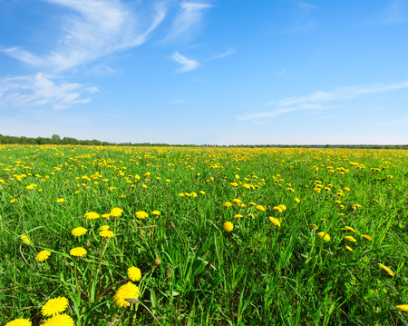 champs de fleurs: Yellow flowers  field under blue sky