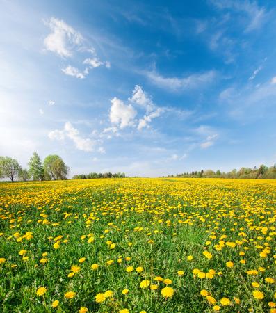 campo de flores: campo de flores amarillo bajo el cielo azul Foto de archivo