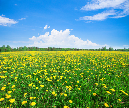 champs de fleurs: Yellow flowers field under blue cloudy sky Banque d'images