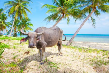vaca: Vaca en la playa tropical Foto de archivo