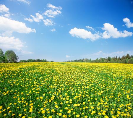 campo de flores: Campo de flores amarillas bajo cielo nublado azul
