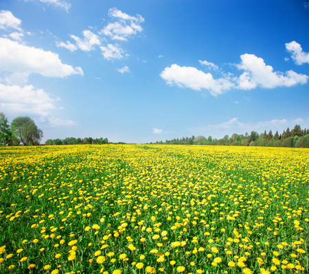 campo de flores: Yellow flowers field under blue cloudy sky Foto de archivo