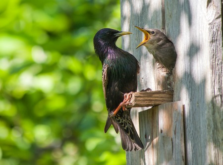 nestling: starling and his nestling Stock Photo