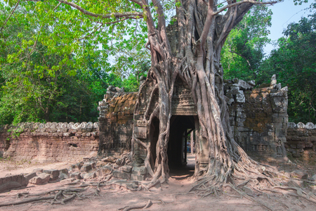 tropical tree: Tropical tree on Ta Som, Angkor wat in Siem Reap,Cambodia Stock Photo