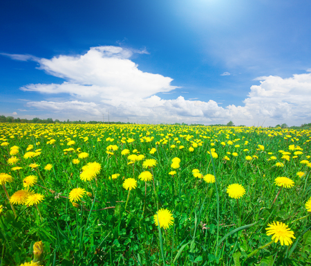 blue cloudy sky: Yellow flowers field under blue cloudy sky Stock Photo
