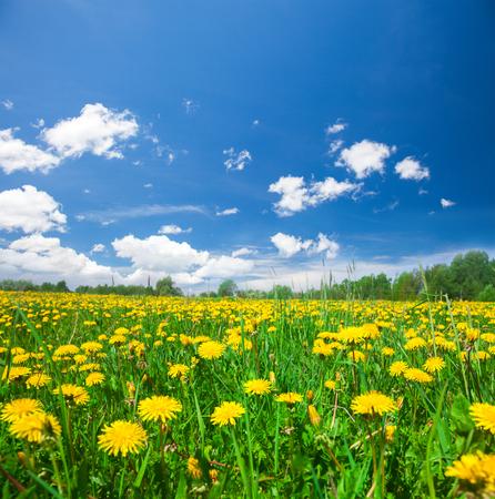 푸른 흐린 하늘 아래 노란색 꽃밭 스톡 콘텐츠
