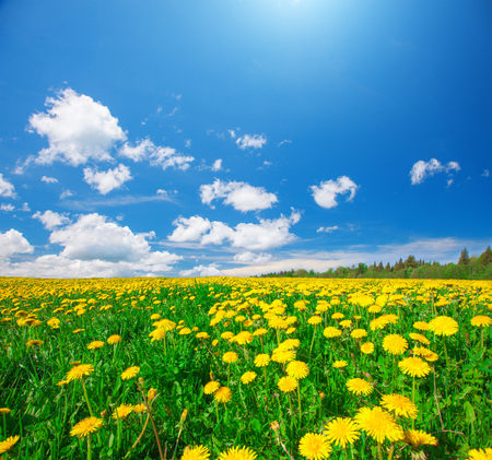 Yellow flowers field under blue cloudy sky 스톡 콘텐츠
