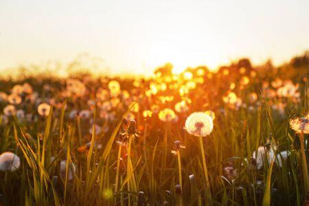 Field of dandelion in sunset