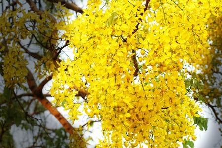 Nationale boom van Thailand Golden Shower Tree Kunstdruk