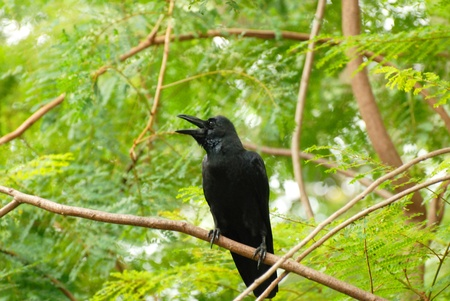 The crow on the green tree in the forest. photo