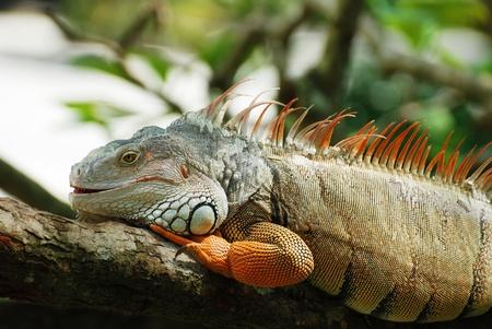 The beautiful iguana portrait against black background Stock Photo