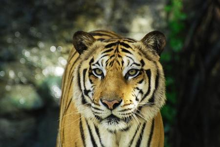 Face to face with an adult Sumatran tiger photo