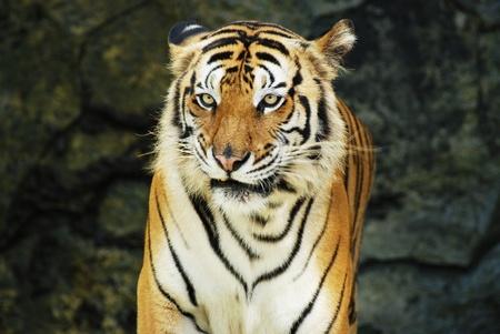 Face to face with an adult Sumatran tiger