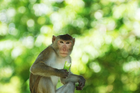 The adult monkey agains green blur background
