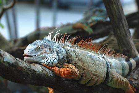 The beautiful iguana portrait against black background photo