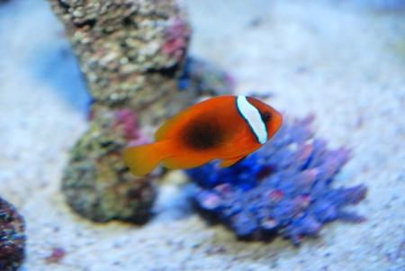 false percula clownfish: The colorful clown fish swimming in the water